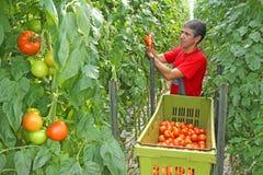 Tomate da colheita do trabalhador de exploração agrícola Fotografia de Stock