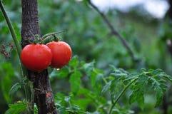 Tomate dans le jardin photographie stock
