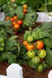 Tomate dans le jardin Photo stock