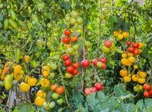 Tomate dans le jardin images libres de droits