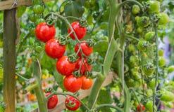 Tomate dans le jardin image stock