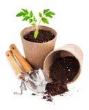 Tomate das plântulas com ferramentas de jardim Foto de Stock Royalty Free
