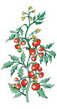 Tomate de Bush illustration libre de droits