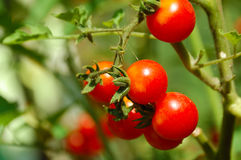 Tomate de cereja na cama Fotografia de Stock Royalty Free