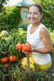 Tomate de cueillette de femme Photos stock