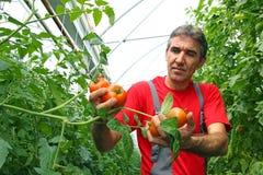 Tomate de cueillette de fermier photographie stock