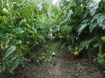 Tomate de jardin Photos stock