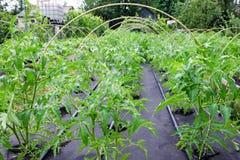 Tomate de jeune plante, cultivée dans la grande boîte sur une couverture non-tissée de Spunbond paillage Élevez les boîtes Images stock