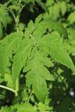 Tomate de jeunes plantes L'élevage pousse à la maison Photographie stock libre de droits