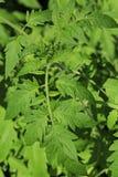 Tomate de jeunes plantes L'élevage pousse à la maison Image stock