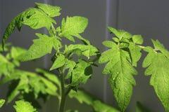 Tomate de jeunes plantes L'élevage pousse à la maison Photographie stock