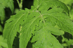 Tomate de jeunes plantes L'élevage pousse à la maison Photo stock