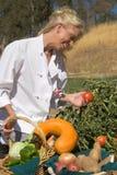 Tomate de la cosecha del cocinero Foto de archivo libre de regalías