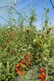 Tomate de la cultivación del invernadero Foto de archivo libre de regalías