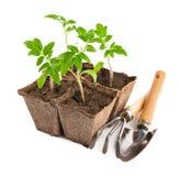 Tomate de los almácigos con los utensilios de jardinería Imágenes de archivo libres de regalías