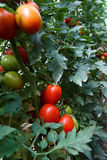 Tomate de prune Photographie stock