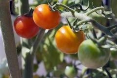 Tomate de raisin Images libres de droits