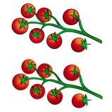 Tomate de Vite Photo stock