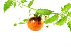 Tomate del negro de la rosa del añil del tomate Foto de archivo libre de regalías