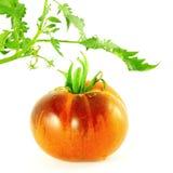 Tomate del negro de la rosa del añil del tomate Imagen de archivo libre de regalías