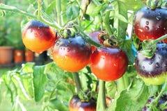 Tomate del negro de la rosa del añil en la planta de tomate Foto de archivo libre de regalías