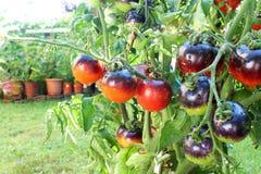 Tomate del negro de la rosa del añil en la planta de tomate Fotos de archivo libres de regalías