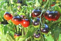 Tomate del negro de la rosa del añil en la planta de tomate Imágenes de archivo libres de regalías