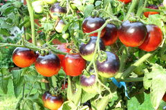 Tomate del negro de la rosa del añil en la planta de tomate Fotografía de archivo libre de regalías