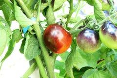 Tomate del negro de la rosa del añil en la planta de tomate Imagen de archivo