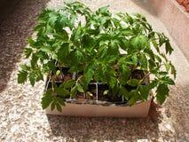 Tomate in den Behältern Lizenzfreies Stockbild