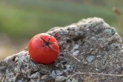 Tomate in der Natur auf einem Felsen Lizenzfreie Stockbilder