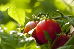 Tomate des flüchtigen Blicks Stockbilder