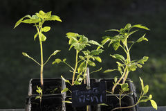 Tomate, die halb wässert lizenzfreie stockfotos