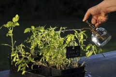 Tomate, die halb wässert stockbild