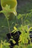 Tomate, die halb wässert stockfoto