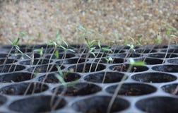 Tomate, die vom Startwert für Zufallsgenerator wächst Stockbild