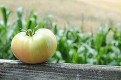 Tomate draußen Lizenzfreie Stockfotografie