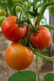 Tomate drei auf Niederlassungsvertikale Lizenzfreies Stockbild