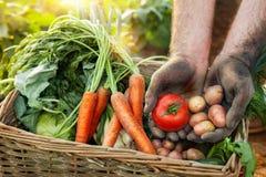 Tomate e batata nas mãos do fazendeiro Imagem de Stock Royalty Free