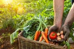 Tomate e batata nas mãos do jardineiro Foto de Stock