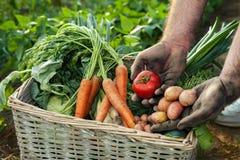 Tomate e batata nas mãos do jardineiro Foto de Stock Royalty Free