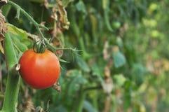 Tomate in einem Gemüsegarten Stockfoto