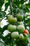 Tomate in einem Treibhaus Lizenzfreies Stockfoto