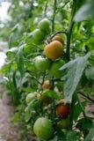 Tomate in einem Treibhaus Lizenzfreies Stockbild