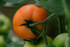 Tomate in einem Treibhaus Abschluss oben Lizenzfreie Stockbilder