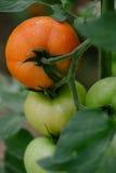 Tomate in einem Treibhaus Abschluss oben Lizenzfreie Stockfotos