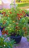 Tomate em um potenciômetro Lotes dos tomates imagens de stock