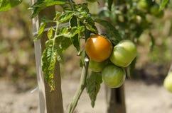 Tomate en jardín Foto de archivo libre de regalías