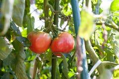 Tomate endommagée de alimentation par l'insecte de puanteur à la ferme image libre de droits