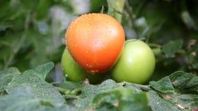 Tomate fraîche avec des baisses de l'eau Photo stock